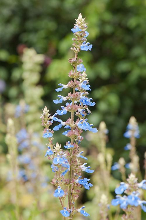 Bog sage (Salvia uliginosa), mid August