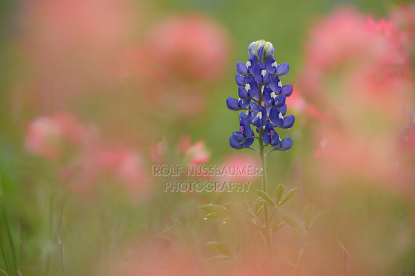 Texas Bluebonnet (Lupinus texensis), blooming, Gonzales, Texas, USA