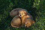 Golden retriever puppy sleeping