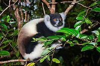 Black-and-white ruffed lemur (Varecia variegata) on tree, juvenile, Northeast Madagascar, Madagascar, Africa