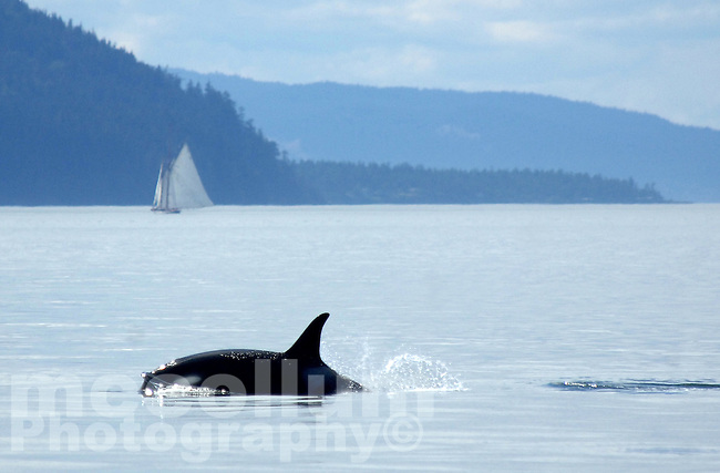 A killer whale (Orcinus orca) surfaces in cool blue water near Orcas Island , (San Juan Islands)  WA, with a sail boat in background