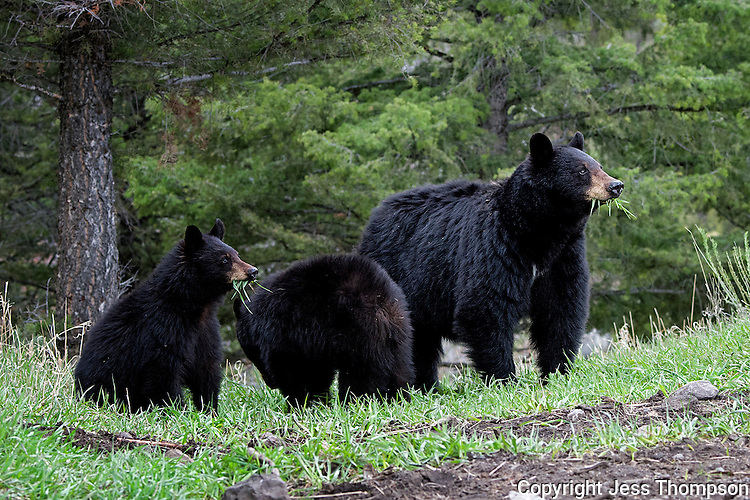 Black Bear (Rosie) with two of her three cubs, Yellowstone National Park