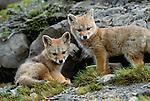 Argentine grey fox, Torres del Paine National Park, Chile