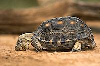 481150041 a wild texas tortoise gopherus berlandieri in the rio grande valley texas united states