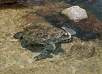 A Hawaiian green sea turtle (or honu) in shallow water, O'ahu.