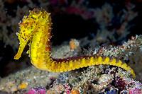 Tiger tail seahorse ( Hippocampus comes ), Richelieu Rock, Surin Islands, Andaman Sea, Thailand