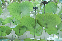 Green large lotus leaves