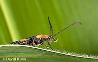 "0109-0905  Banded Net Winged Beetle, Calopteron reticulatum ""Virginia"" © David Kuhn/Dwight Kuhn Photography."