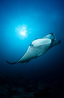 reef manta ray, Manta alfredi, Panattone in backlight, Ari Atoll, Maldives, Indian Ocean