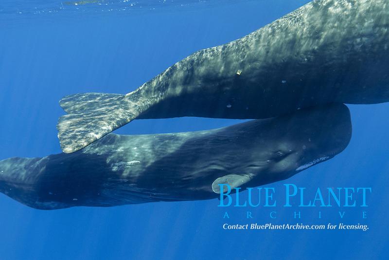 sperm whale, Physeter macrocephalus, mother and calf, Chichi-jima, Bonin Islands, Ogasawara Islands, Natural World Heritage Site, Tokyo, Japan, Pacific Ocean