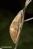 LE26-068b  Cecropia Moth - cocoon ready for winter - Hyalophora cecropia