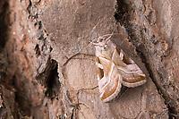 Rosagraue Beifußeule, Rosagraue Beifusseule, Rosagraue Beifuß-Eule, Rosagraue Beifuss-Eule, Eucarta virgo, Silvery Gem, Eulenfalter, Noctuidae, noctuid moths, noctuid moth