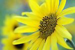 Sunflowers bloom in the garden in Gardnerville, Nev., on Aug. 20, 2009..Photo by Cathleen Allison
