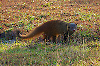Ruddy Mongoose is slightly larger than the Indian Grey Mongoose and has a black tip to its tail.