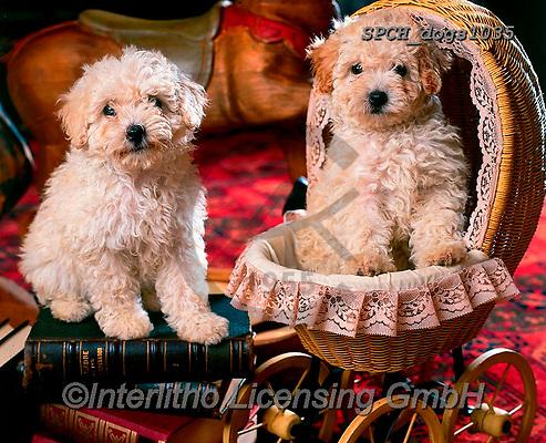 Xavier, ANIMALS, REALISTISCHE TIERE, ANIMALES REALISTICOS, dogs, photos+++++,SPCHDOGS1035,#a#, EVERYDAY