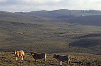 Europe/France/Auvergne/12/Aveyron/Env. de Laguiole : Pâturage et vaches (race Aubrac) en Aubrac