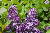 Syringa 'Declaration' hybrid flowering shrub lilac bush, purple, Syringa x hyacinthiflora 'Declaration' Hybrid Lilac