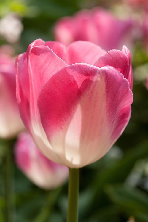 Tulip 'Innuendo' (Triumph Group), late April.