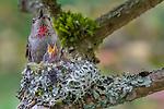 Rufous hummingbird mom feeds two chicks in her nest, Seattle, Washington, USA