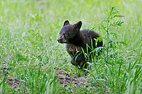 "Wild Black Bear (Ursus americanus) cub running.  Western U.S., spring. (This is what is known as a ""coy""--cub of the year.)"