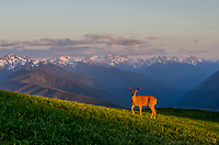 Columbian black-tailed deer (Odocoileus hemionus columbianus) buck in subalpine meadow near summit of Hurricane Hill with Olympic Mountains in background.  Olympic National Park, WA.  Summer. Late evening.