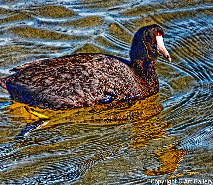 Coot in Shallow Water 3, Bolsa Chica, CA