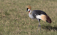 We saw a number of these beautiful birds in the Ngorongoro Crater.