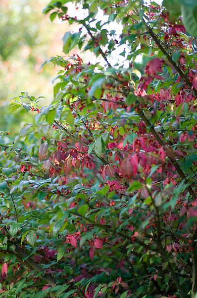 Euonymus Alatus Timber Creek