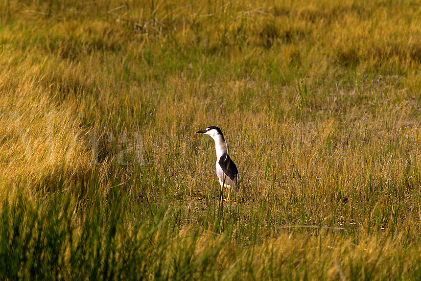 Black Crowned Night Heron in a marsh at Fish Springs Wildlife Refuge, UT. Utah, Fish Springs Wildlife Refuge.