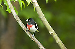Male Rose-Breasted Grosbeak, Pheucticus ludovicianus