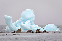Atlantic walruses, Odobenus rosmarus rosmarus in front of an iceberg, near the Apollonaria Island, Franz Josef Land, Russia, Europe, Arctic Ocean