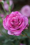 MELODY PARFUMEE ROSE, ROSA 'GRANDIFLORA'