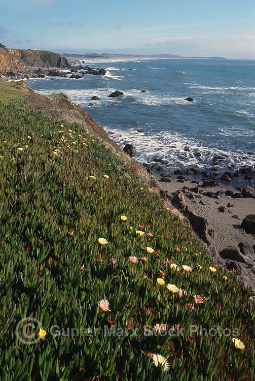 Rugged Coastline along Pacific West Coast in Sonoma Coast State Park, near Jenner, California, USA - Cliffs are covered with Ice Plant (Carpobrotus edulis)
