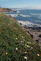 Rugged Coastline along Pacific West Coast in Sonoma Coast State Park, near Jenner, California, USA - Cliffs are covered with Ice Plant (Carpobrotus edulis)