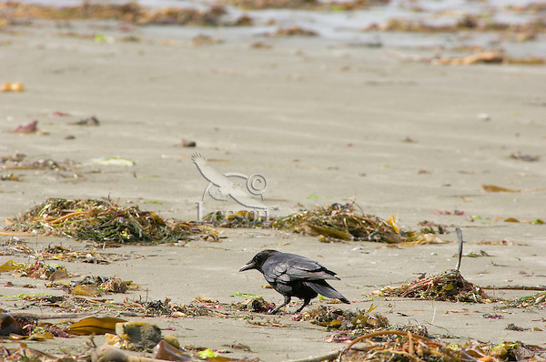 Northwestern Crows (Corvus caurinus), coastal Pacific Northwest.