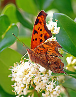 Question mark on blooming ligustrum. Note white question mark on lower hind wing.