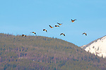 Canada Geese flying in front of the Bitterroot Mountain range in western Montana