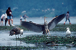 Seattle, Golden Gardens Park, Great Blue Herons, Ardea herodias; Puget Sound, tideflats, low tide, beach combers, May neap tides