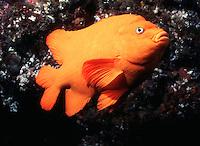 Garibaldi.(Hypsypops rubicundus)