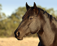 A brown, like a bay, is a black horse that has genes which remove the black color from the soft body parts. A brown horse may have a black or brown coat, with lighter soft parts.