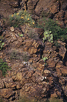 Bald Eagle (Haliaeetus leucocephalus) sitting on rocky hillside in central Arizona.