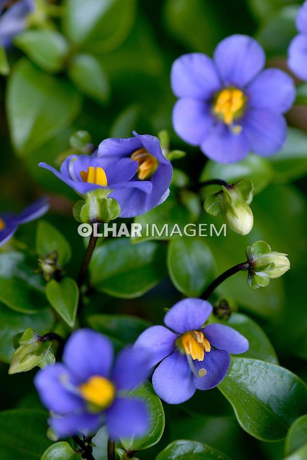 Flor Esacum ( Exacum affine). SP. Foto de Manuel Lourenço.