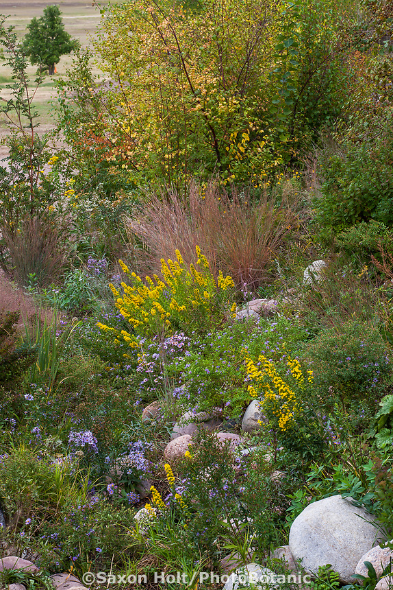 Drainage swale rain garden for percolation with native plants Goldenrod, Asters and grasses, Denver Botanic Garden, Chatfield