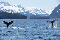 The tails of two humpback whales (Megaptera novaeangliae) emerge simultaneously in Knight Island Passage near Pleides Island, Prince William Sound, Southcentral Alaska on a sunny spring afternoon in early May.