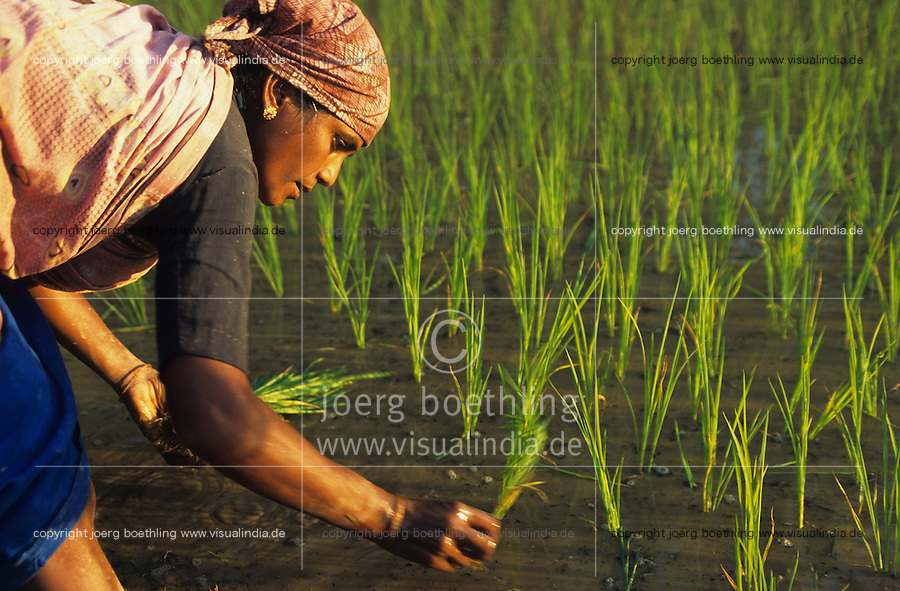 INDIA Karnataka Taccode, women replant rice plants at a farm near Mangalore / INDIEN Frauen pflanzen Reissetzlinge auf einem Bauernhof