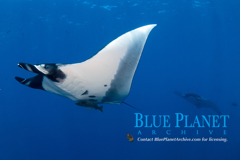 Giant giant oceanic manta ray, Mobula birostris, formerly Manta birostris in San Benedicto Island Revillagigedo archipelago, Pacific ocean, Mexico
