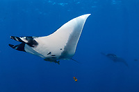 Giant giant oceanic manta ray, Mobula birostris, formerly Manta birostris in San Benedicto Island Revillagigedo archipelago, Pacific ocean, Mexico