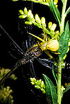 Goldenrod spider with prey
