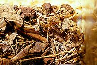 Lesser Brown Scorpion, Isometrus maculatus, hiding in litter