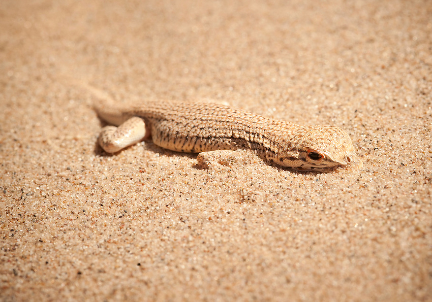 Colorado Desert Fringe-toed Lizard<br /> Uma Notada<br /> <br /> Partially exposed after diving into the sand to elude capture. Continuing a study of this unique lizard that lives only in the sand dunes of Imperial County, California. It has many interesting behaviors and adaptations that allow it to survive in the dunes.